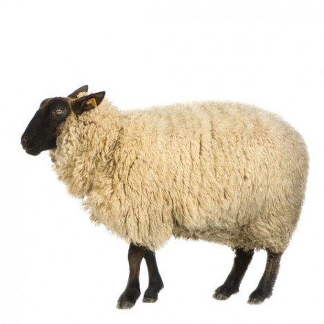 Fotobehang schapen