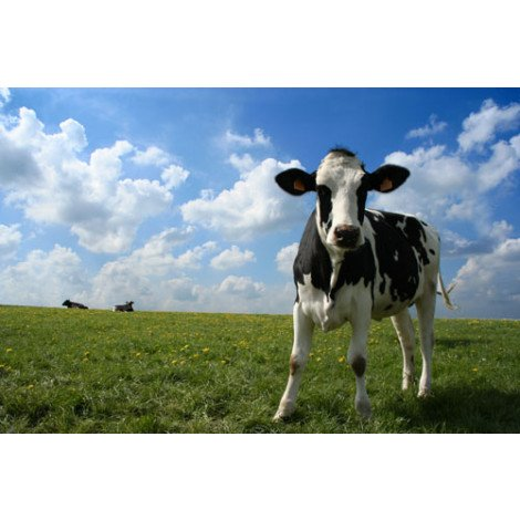 Fotobehang koeien