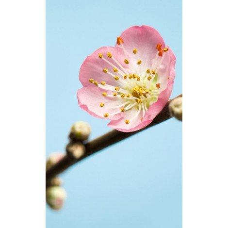 Fotobehang Peach Blossom-2